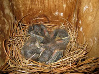 Four baby Bluebirds about 8 days old.